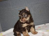 we have one darlin ckc morkie pup remaining in our