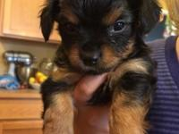 Two female Chorkie puppys left! $400.00 OBO Mom is