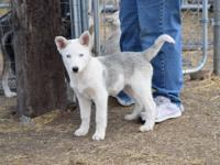 4 of the cutest husky puppies imaginable offered to