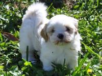 . This is the cutest little lhasa apso young puppy
