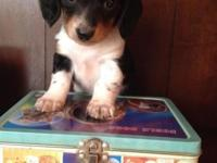 This little piebald Longhaired Mini Dachshund puppy is