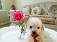 I have very cute maltese and poodle mix puppies with