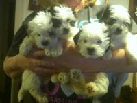 I have 4 darling morkie young puppies 2 males ... 2