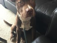 Scotch, our 7 month old Pitbull needs a new home with a