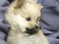 These are the CUTEST Pomeranian little girls, and not