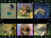 I have 2 pomeranian puppies for sale, one male and one