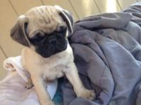 Hi there I have four loveable male pug young puppies.