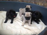 Adorable  Male and Female pug   puppies