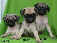 Totally Gorgeous and Sweet Mini Pug Puppies! Two pretty