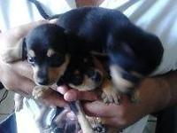 house born pops 1/2 breed black and cream min/pin and