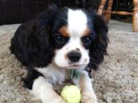 This sweet and loving female cavalier is already potty