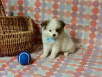 pomeranian puppies: 1 male available - 9wks old., had