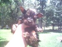 Cuties yorkie puppies. Have 1 girl and 1 boy left. Are