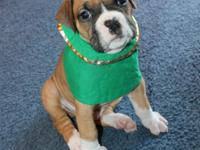 Cuties And Playful Boxer Puppies For Sale.He loves kids