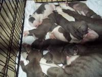 I have 6 males and 1 female blue and white pitt bull