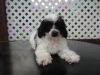 Cutiest little Maltipoo puppy. He is 11 weeks old and