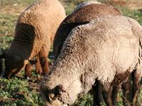 CVM Sheep--all EWES--...natural colored awesome wool!