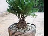 CVWTC Rare Palm and Cycad collections available for