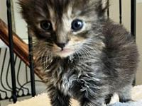 Cyan's story Cyan is a DMH Black Tabby Female that was