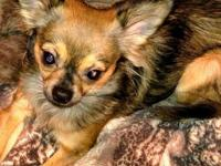 cymba is a yr old male chihuahua, he has never