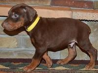 Cyrus is a red/rust Champion sired Doberman male , his