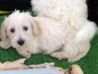 Da-Schnoodle puppies $150-250 Dad a soft coated wire