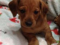 ACA registered dachshund male puppies Have a litter