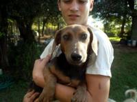 Dachshund - Addie - Medium - Adult - Female - Dog This