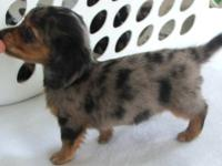 Sweet little Black/Tan Dapple Long Hair Male! Black/Tan