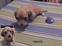 AKC mini longhair dachshund puppies. One cream male and