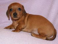 Precious and loving smooth coat Dachshund puppies born