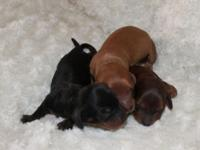 Raising top quality mini doxies for over 14 years now.