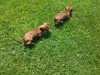 Female long hair dachshund born april7 2015 all puppy