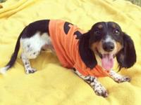 Pure breed dachshund. Male. He'll be a year old on