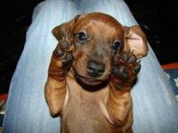 10 week old female dachshund vary playful and energetic