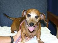 Dachshund - Ava - Small - Adult - Female - Dog