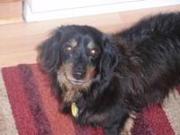 Dachshund - Badger - Small - Adult - Male - Dog Hi my