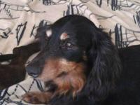 Dachshund - Bandit - Medium - Adult - Male - Dog LOCAL