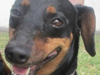 Dachshund - Blackie - Medium - Adult - Female - Dog
