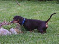 Dachshund - Boggle - Small - Adult - Male - Dog