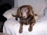 Dachshund - Bordeaux - Small - Young - Female - Dog