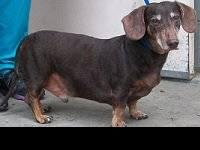 Dachshund - Brownie - Small - Adult - Male - Dog