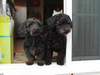 Dachshund - Brutus And Shadow - Small - Young - Male -