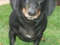 Dachshund - Brutus - Small - Adult - Male - Dog Brutus