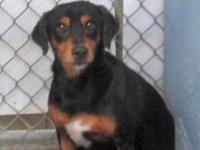 Dachshund - Bryce - Medium - Young - Male - Dog Poor