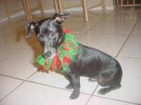 Dachshund - Buddy - Small - Young - Male - Dog Hi my