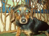 Dachshund - Calvin - Small - Adult - Male - Dog Each