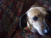 Dachshund - Carley - Small - Senior - Female - Dog