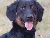 Dachshund - Charlie D - Small - Adult - Male - Dog