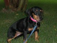 Dachshund - Chester - Small - Young - Male - Dog He is